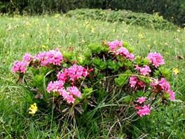 Alpská růže v plném květu