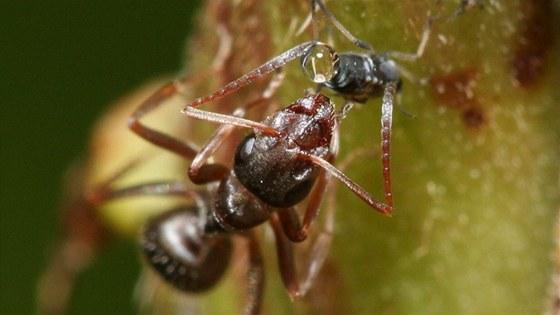 Mravenec odebírá ze zadečku mšice tekutinu obsahující nestrávené cukry z její