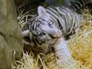 Tři koťata bílých tygrů z liberecké zoo čekala v osmém týdnu nezbytná