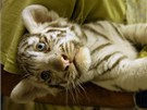 T�i ko�ata b�l�ch tygr� z libereck� zoo �ekala v osm�m t�dnu nezbytn�