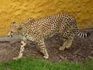 Gepardice Mzuri zpočátku vypadala, že o návštěvě ve svém výběhu neví a