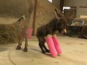 Oslí slečna se učí chodit se sádrami na předních nohou
