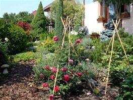 Keřové anglické růže čtenář vysadil toto jaro, protože všechny starší růže
