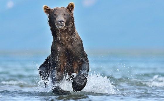 Kamčatský poddruh medvěda hnědého patří mezi největší na světě.