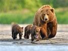 Mláďata je třeba nakrmit, proto se medvědice musí otáčet.