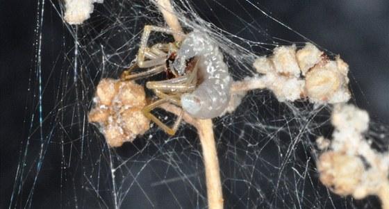 Larva se �iv� pavoukov�m t�lem, postupn� ho vys�v� a z�rove� ho nut� tk�t