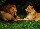 Na první pohled šťastný pár. Jenže lvice Asha nemohla mít se samcem Sohanem
