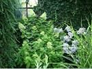 Hortenzie latnat� a floxy kvetouc� na pozad� zdi porostl� b�e�anem