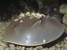 Ostrorep americký patří mezi paryby a je označován za živoucí fosílii.
