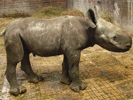 Samička nosorožce dvourohého ze ve dvorské zoo narodila 8. 9. 2012.