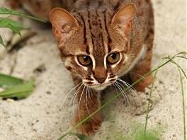 Vzácná kočka cejlonská se zabydluje v ostravské zoologické zahradě. (23. září