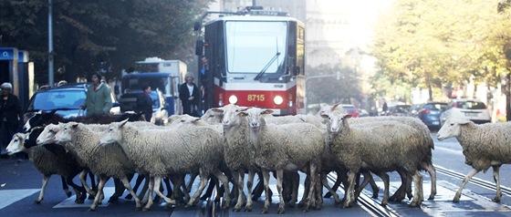 Jitka Němcová natáčí dokument o Zuzaně Michnové. Do filmu obsadila i stádo ovcí.