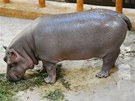 Hroch Hubert byl už několik měsíců od narození pořádný kus, po dvou letech při