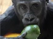 Občas zpestří gorilí jídelníček i nějaké exotické ovoce, například avokádo.