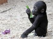 Zeleninu zkoušejí gorilí mláďata okusovat už od prvních měsíců, přesto jsou až