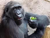 Oblíbenou zeleninou pražských goril je řapíkatý celer.