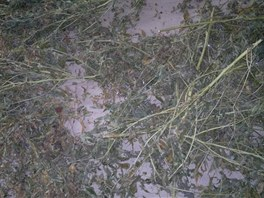 Částečně usušené rostliny konopí v pěstírně na Broumovsku.