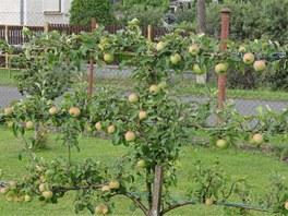 Ovocnou stěnu vysadil manžel, úroda je letos slušná.