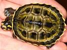 Čerstvě vylíhlá želva korunkatá na dlani.