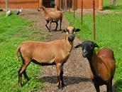 Kamerunské ovce jsou dnes stále žádanější, protože jsou nenáročné na chov.