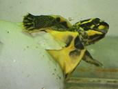 Líhnutí mláděte želvy korunkaté ve vodě.