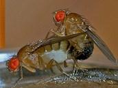 Mušky octomilky převádí, proč jsou jedním z oblíbených modelových organismů