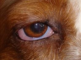 Oční vady se týkají hlavně starších psů, predispozice k očním vadám je i