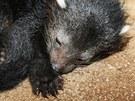 Třičtvrtěkilové mládě binturonga dostalo jméno Amálka. V zoo na Svatém Kopečku