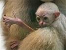V ostravské zoologické zahradě se narodilo mládě gibbona bělolícího.
