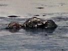 Marn� z��ijov� labut� boj s jedovat�m bahnem v ropn� lagun� v Ostrav�.