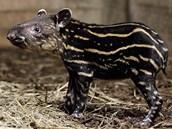 Mládě tapíra z pražské zoo krátce po narození. Pravděpodobně to je kluk.