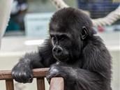 Tano se chystá vtrhnout do ohrádky, kde si hrají jeho malí gorilí kamarádi Vana