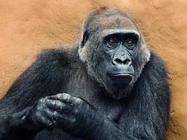 Gorila Kamba ve svých čytyřiceti letech čeká mládě. Na snímku je ve venkovním