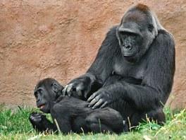 Samice Kamba má s mláďaty skvělé vztahy, nyní je ve svých čytyřiceti letech