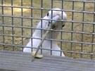 "Papou�ek kakadu jm�nem Figaro si v kleci najde materi�l vhodn� na ""v�robu""..."