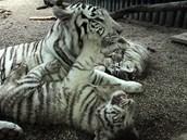 Mláďata bílých tygrů.