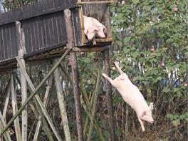 Některá z prasat z věže doslova létají...