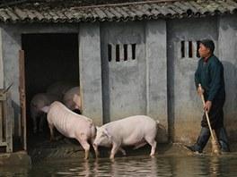 Čínský farmář nahání svoje vysportovaná prasata zpátky do chlívku.