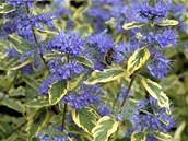 Modře kvetoucí keř Caryopteris clandonensis by předzahrádce slušel.