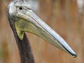 Mladý samec pelikána bílého získá světlou barvu až vdospělosti.