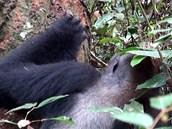 gorilák s termity