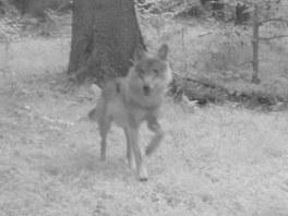 Fotografie vlka z fotopasti v oblasti Hohwaldu, sousedící se Šluknovským