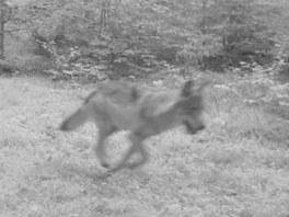 Druhá fotografie vlka z fotopasti v oblasti Hohwaldu, sousedící se Šluknovským...