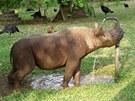 Nosorožci vodu milují, proto se s Jimmym chodí koupat. Oblíbil si ale i zdroj...