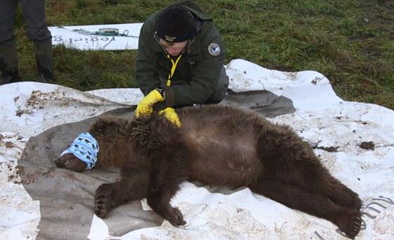 Medvědice Hedviga při instalaci sledovacího zařízení
