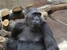Vysoce březí Kamba působí klidným a spokojeným dojmem.