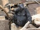Většinu dne tráví Kamba vklidu, jídlem a odpočinkem, když je to ale potřeba,...