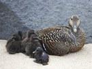 Islandsk� kajky neboli divok� kachny �ij� na �tesech Islandu.