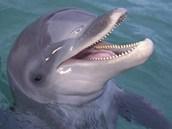 Delfín má horní i spodní čelist osazené hustou řadou zubů, kterými si podává...
