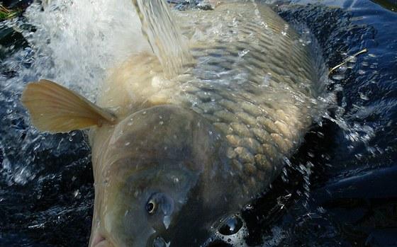 Ulovenou rybu je nutné polévat čerstvou vodou.
